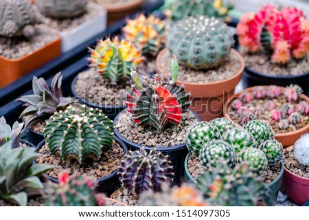 Cactus farm with close-up of succulent and cactus collection in pot. It' s natural background from little plants.  #1514097305
