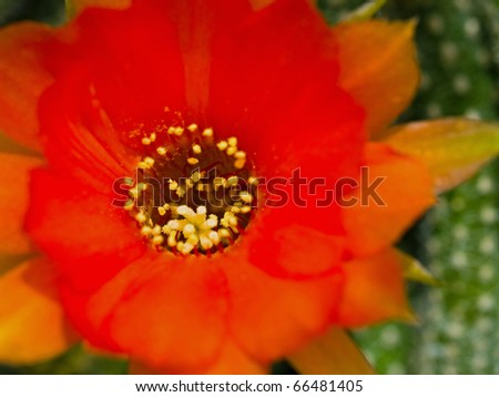 Cactus Flower Macro with Vivid Texture and Color; Great for Desert Backgrounds