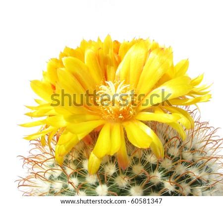cactus flower Parodia mutabilis close up