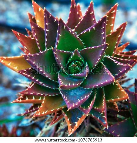 Stock Photo Cactus. Flowering cactus.