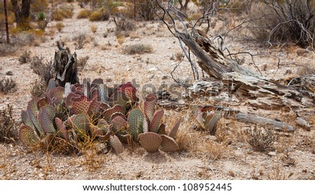 Cactus grouping next to an old decaying tree
