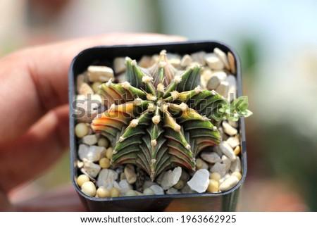Cactus gymnocalycium LB2178, Close up cactus and succulent, Cactus Gymnocalycium Flower Nature Close up,Beauty botany cactus in garden,Cactus in pots