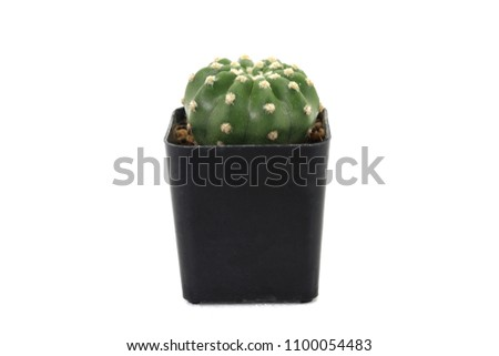 Cactus in a black pot on a white background. Cactus is a small tree used to decorate and decorate both the bedroom and the office. Can be placed near the computer screen. #1100054483