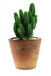 Cactus in clay pot Isolated on white background