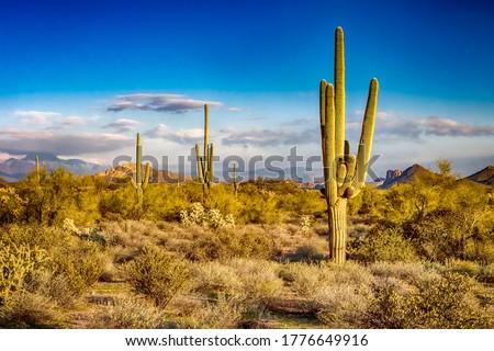 Cactus in desert. Cacti in the desert Stock photo ©
