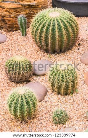 Cactus in desert garden, Thailand