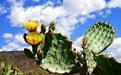 Cactus in spring time with flowers