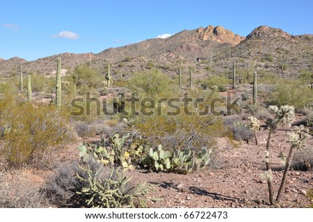 Cactus in the Desert in Arizona