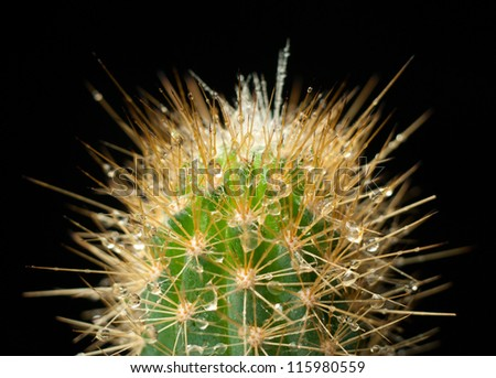 cactus in the dew on a dark background close up
