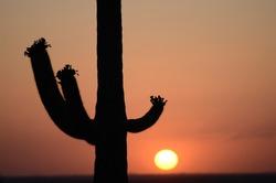 Cactus in the Setting Sun