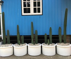 Cactus in white pots, in order of 5 pots.