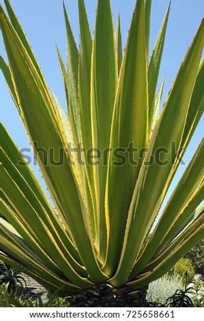 Cactus Leaves Closeup #725658661