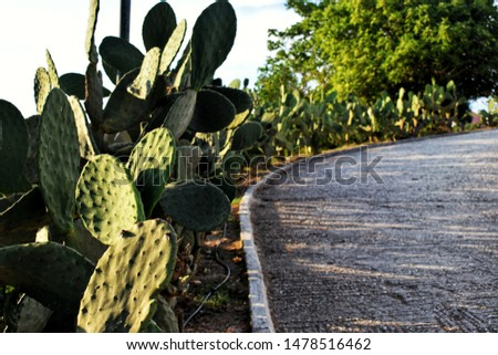 Cactus on road. At Corfu in Greece. Made at sunset.   Stock fotó ©