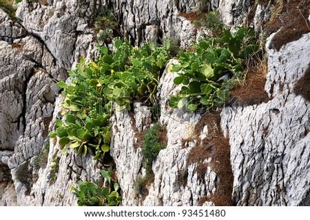 cactus opuntia ficus,  prickly pear - mediterranean flora