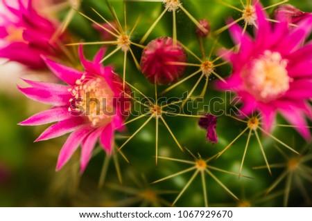 cactus, pink flowering flower with cactus needles #1067929670
