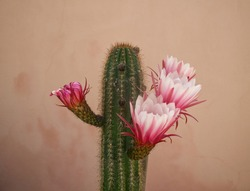 Cactus pink flowers on natural background