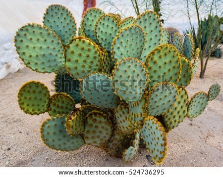 Cactus Plant #524736295