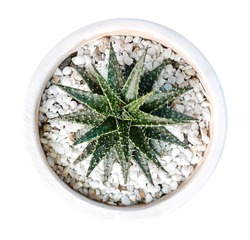 Cactus plant in clay pot top view isolated on white background, clipping path included
