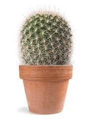 cactus plant in vase isolated on white background