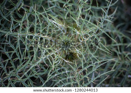 Cactus Plant Spreading its Prickles, Spikes and Thistles. Green Thorny Bush Closeup Top View Shot. Seamless Details of Sharp and Pointed Stems and Leaves.