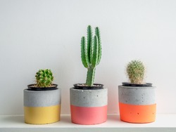 Cactus plants in colorful modern geometric concrete planters on white shelf isolated on white background. Beautiful painted concrete pots.