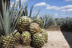 Cactus plants on the tequila factory. Looks like pineapple