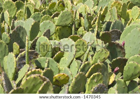 cactus - prickly pear - mediterranean flora