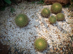 Cactus selective focus on topview, Golden barrel cactus in garden