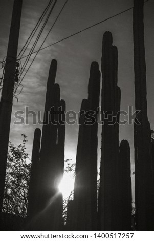 Cactus silhouttes and sun at dawn #1400517257