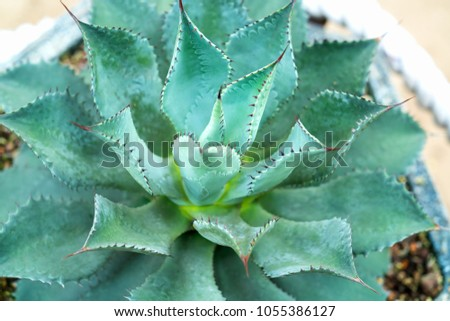 Cactus species with different species are blooming, this is a species of plants living in hot weather, drought symbolizes endurance endurance of humans before nature. #1055386127