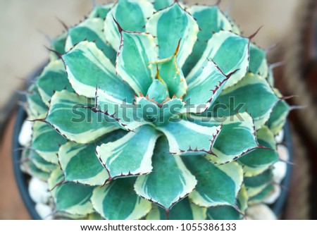 Cactus species with different species are blooming, this is a species of plants living in hot weather, drought symbolizes endurance endurance of humans before nature. #1055386133