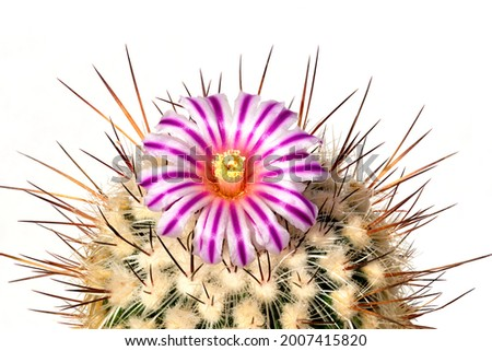 Cactus, stenocactus, with stiffened flower in pink against white background Foto stock ©