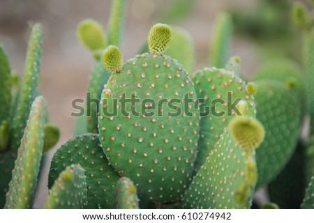 Cactus texture background. Cactus in the desert