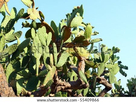 Cactus tree at Balchik botanic garden, Bulgaria