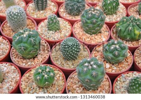 cactus tree in garden