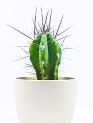 Cactus with long spines