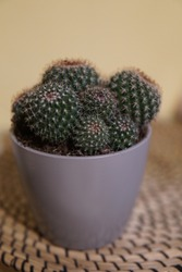 Cactus with many round branches in a small round grey pot on wooden plate / cactae