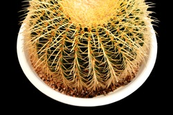 Cactus with sharp thorns on black background.