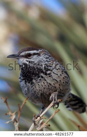 Cactus Wren perched on a desert plant