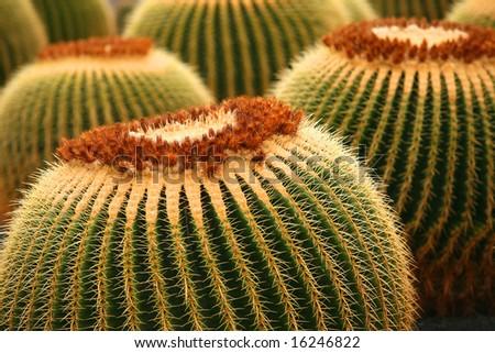 Cactuses in Museo de cactuses, Lanzarote island, Spain Echinocactus grusonii (Golden Barrel Cactus, Mother-in-Law's Cushion ) - stock photo
