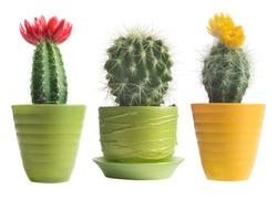 cactuses on white background