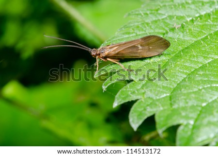 caddis fly on stinging nettle