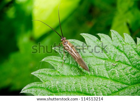 caddis fly on stinging nettle from above