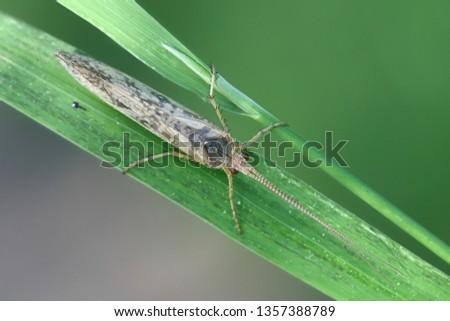 Caddisfly, also called sedge-fly or rail-fly