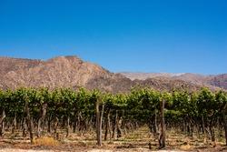 Cafayate vineyards in southamerica on a summetime