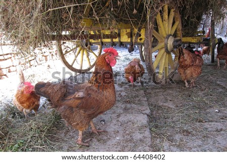 cage free chicken around the wagon eating in the poultry yard - stock photo
