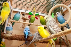 Cage with many multicolored budgies from inside.