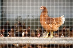 Caged Chickens