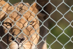 Caged lion staring through fence. Captive animal rights image. Close-up of big cat in captivity. Game reserve boundary.
