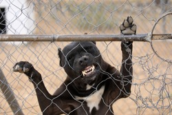 Caged Pit-bull, standing up against fence,  biting through the wire